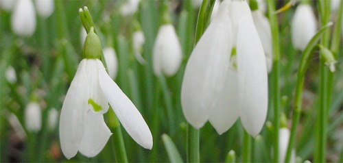 Snowdrops take part in guerrilla gardening warfare